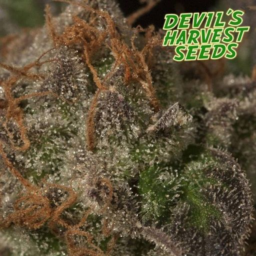 Devil's Harvest Seeds stated mission is to create new and exciting strains combining the best of European and American genetics. If Holland and Europe was the Devil's birth, then the US is just another important step in their goal to spread the Devil's seeds all over the world.