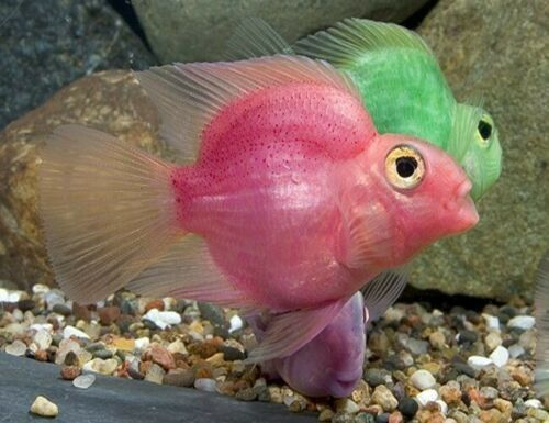 Jelly Bean Parrot Cichlid Fish 16 00 Expedited Shipping Parrot Fish Fish Cichlid Fish