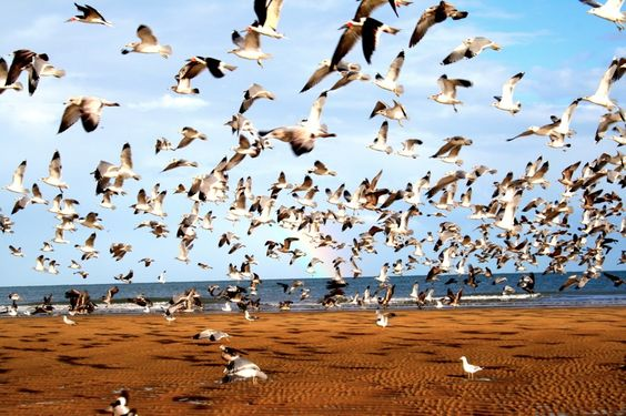 After a Baja rainstorm, the San Felipe beach is filled with seagulls sheltering from the storm.
