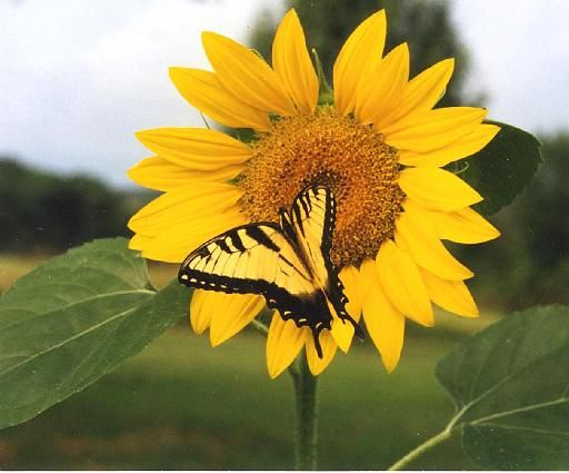 Sunflower with a Butterfly visitor  : )