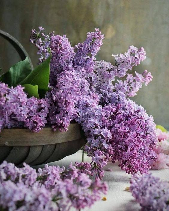 Pinterest Coffeequeen4 Thank You Xoxo Lilac Flowers Lilac Gardening Plants