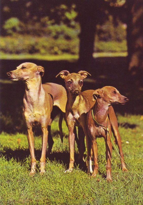AK Hund Hundepostkarte   Italienische Windspiele   Windhund