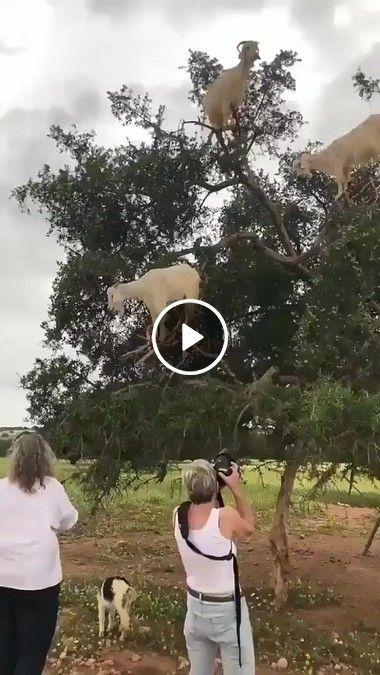 Para quem nunca viu, aí está um belo pé de cabras
