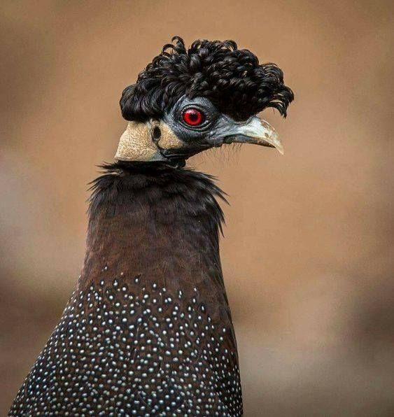 Чубастая цесарка. Обитают на юге Сахары, в Кении и Эфиопии. Только из парикмахерской.