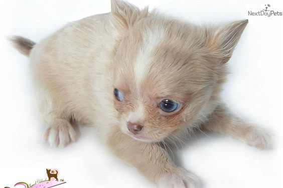 Stunning Hand Crafted Chihuahua Accessories And Jewellery Available At Paws Passion Shop Chihuahua Pu Chihuahua Puppies For Sale Chihuahua Puppies Chihuahua