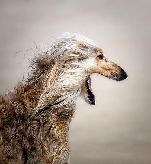 Afghan Hound by Phillipa Alexander