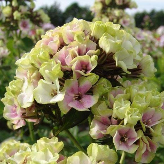 Phlox paniculata Sherbet Blend® - Phlox paniculé - Une vivace d'été très originale