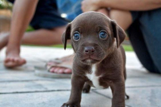 cachorros caminando por primera vez - labrador marron de ojos azules