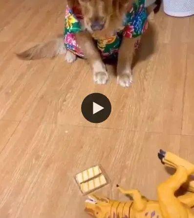 Cachorro entendedor kkk