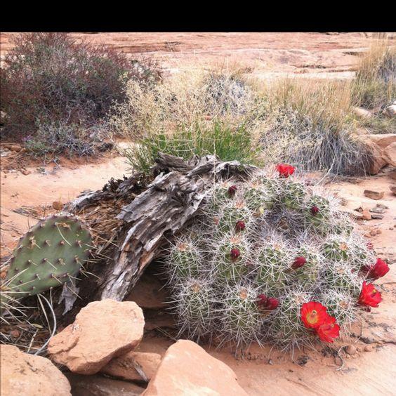 Desert flowers, Arches National Park, photo by Jakki Mohr