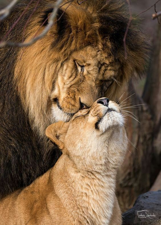 Lion And Lioness Extremely Interested In One Another During