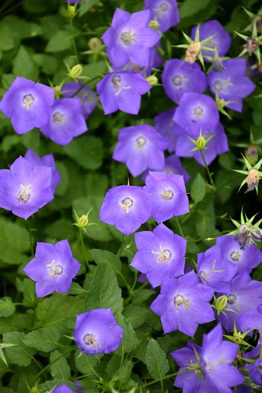 Blue Clips Bellflower Campanula Carpatica Blue Clips At Dutch Growers Garden Centre Campanula Flowers Campanula Herbaceous Perennials