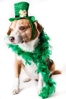 cute picture of a dog wearing a Shamrock hat and a green feather scarf for St. Patrick's Day