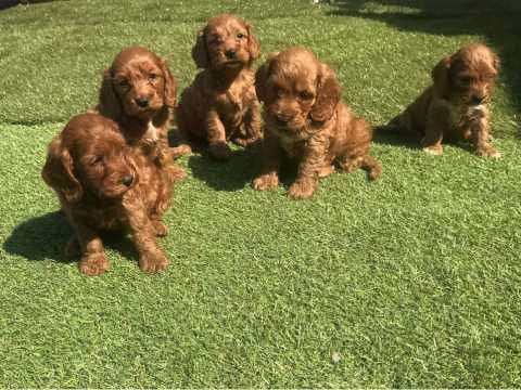 Stunning Cockapoo Puppies Gravesend Kent Pets4homes
