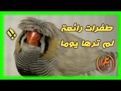 اليك أجمل طفرات طيور الزيبرا Youtube