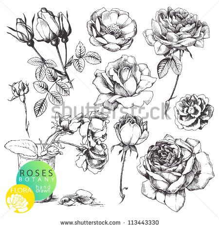 Great collection of highly detailed hand drawn roses isolated on white background