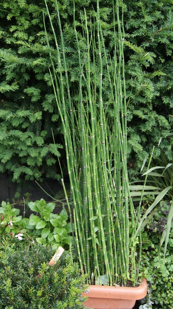 Equisetum hyemale var robustum, Giant horsetail. | Pond plants | Water plants | Bamboo Forest - Bamboo and Plants for Home and Garden