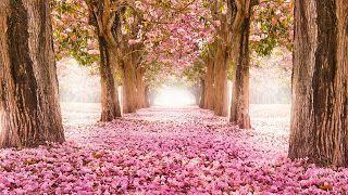 تنزيل احلى صور خلفيات روعة وجديدة وجميلة من أفضل الخلفيات بجودة Hd Landscape Trees Cherry Blossom Wallpaper Paint By Number
