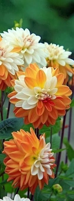 Orange Cream Dahlias: