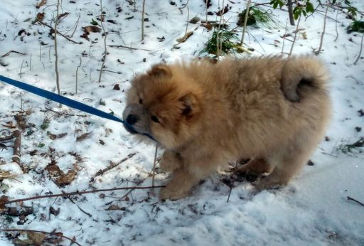 Litter Of 3 Chow Chow Pomeranian Mix Puppies For Sale In Silver