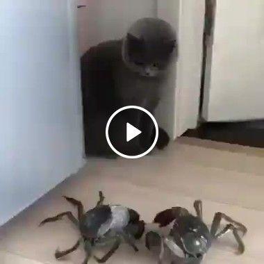 Veja como esse gato decidiu fugir dos caranguejos!