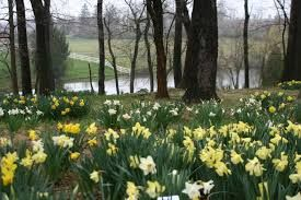 Image result for daffodil forest