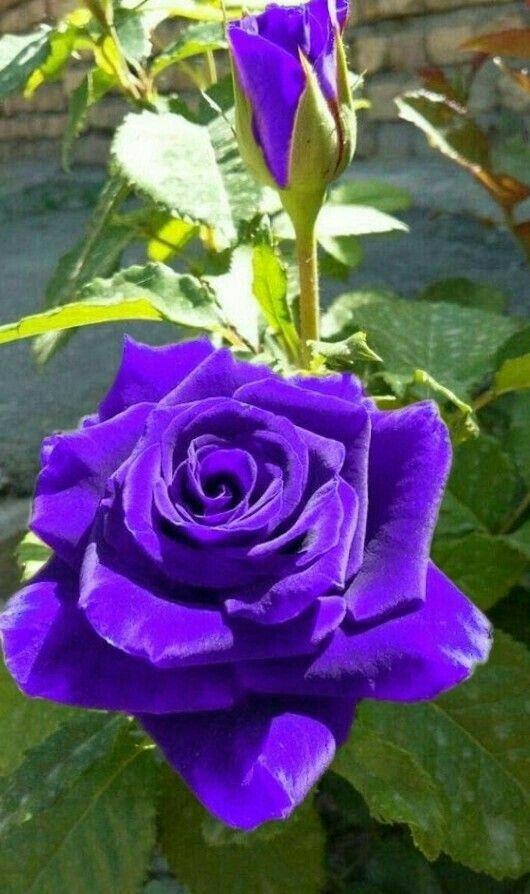 Pin By Kara Mignano Marolda On Photography Beautiful Rose