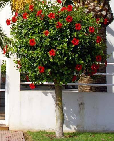 أشجار مزهرة مع الشمس الحارقة دورانتا تجي منها الوان سيسلبينيا وتسمى زهرة الطاؤوس جاتروفا هابيسكس الجهن In 2021 Hibiscus Tree Rose Of Sharon Tree Rose Of Sharon