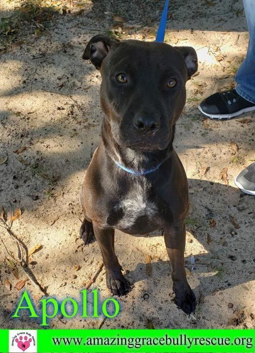 Adopt Apollo On Adoption Dogs Pet Adoption