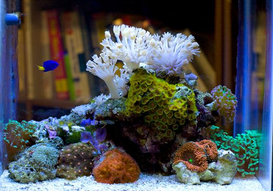 My pico with built in refugium page 6 reef for Community fish list