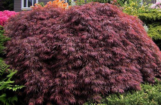 Acer palmatum dissectum (Japanese laceleaf maple)