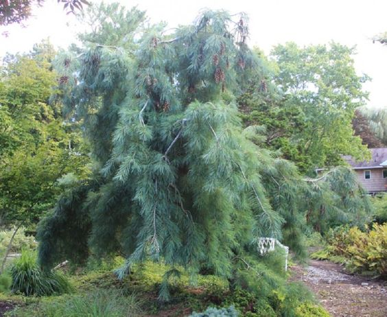 Pinus strobus pendula weeping white pine a weeping and for Weeping evergreen trees for small gardens