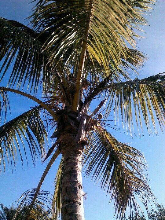 Coconut maypan