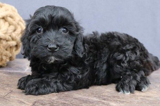 Petland Olathe Has Cockapoo 2nd Gen Puppies For Sale Check Out All Our Available Puppies Cockapoo2ndgen Petland Puppies Puppy Friends Puppies For Sale