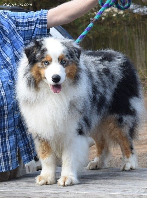 Pin By The Aussie Life On Aussie Puppies Aussie Dogs Aussie Puppies Australian Shepherd Dogs