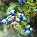 Blueberries: Planting, Growing and Harvesting