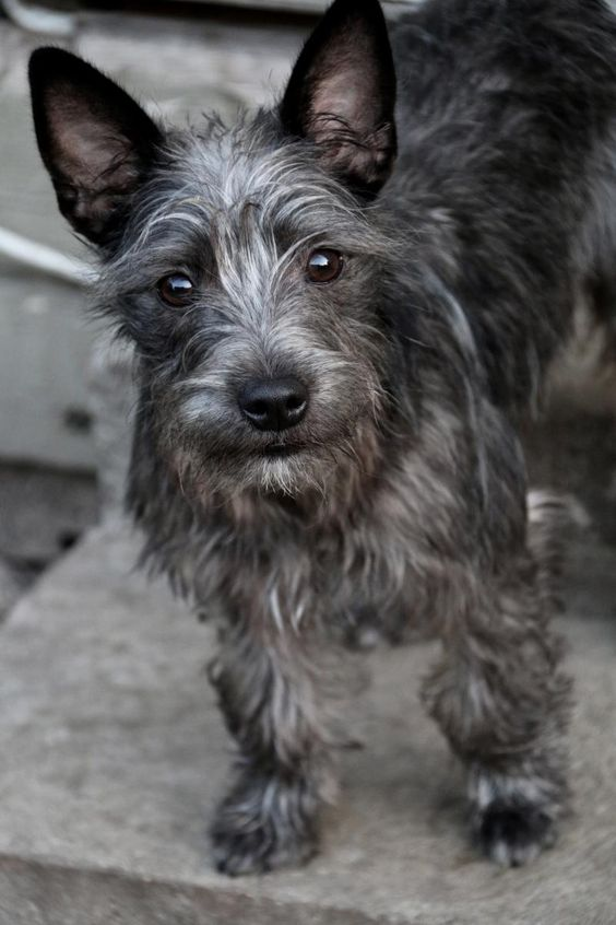 Shenanigans is an adoptable Cairn Terrier/Schnauzer Mix looking for a new forever home in New Orleans, LA! He's available through Villalobos Rescue Center!