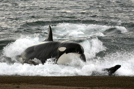 Orca vor der Halbinsel Valdez: Nur sieben schwarz-weiße Wale auf der Welt beherrschen die Jagd auf dem Strand. Ihre Opfer sind Seelöwen-Junge.