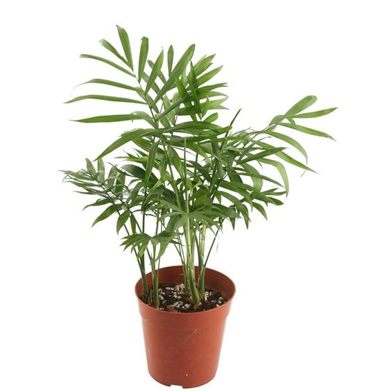 Chamaedorea Elegans 6cm Pt Foliage Plants Plant Identification Large Plants