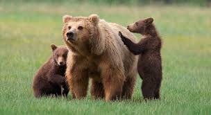 Resultado de imagen de oso bañándose
