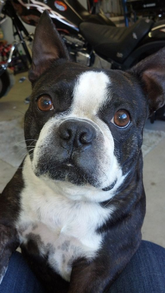 what does a boston terrier look like the biggest boston terrier i know weighs 30 pounds how 6304