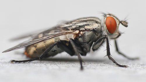 Por que é tão difícil matar uma mosca? Porque a mosca tem um campo de visão muito amplo ; ela enxerga até atrás dela !