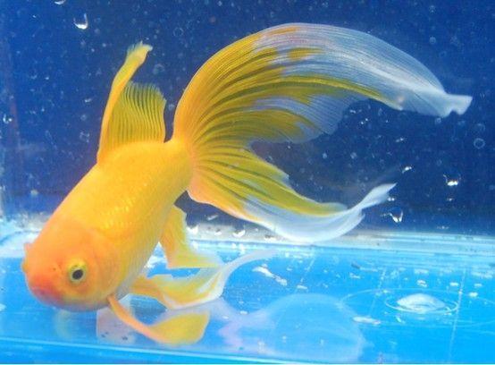Goldfish Yellow Comet It S Really All About The Fins Isn T It Koi Fish Pond Goldfish Aquarium Goldfish