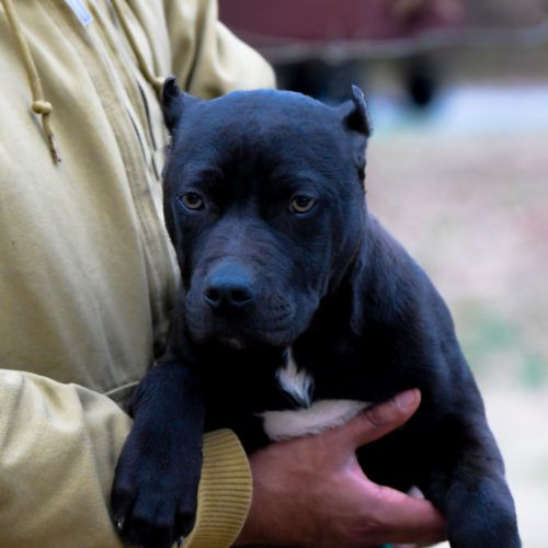 Red Nose Pitbull Puppies For Sale With Images Black Pitbull
