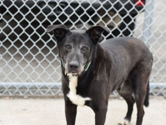 gone~~   MAX - A0425708 - - Brooklyn  Please Share:TO BE DESTROYED 09/25/16: ****NEW HOPE ONLY**** Quite a few years ago, senior boy Max had a stay in ACC so one can imagine his dismay when his owner brought him back for reasons that are somewhat vague. What is learned from his notes are that Max lived in harmony with 2 adults and liked playing with children who visited, that he was used to two walks a day, that he was friendly with other dogs but did not like cats, and that at the
