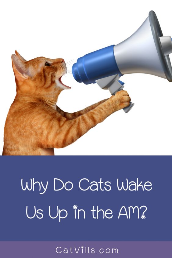 Why Does My Cat Wake Me Up In The Morning Cat Behavior Cats Wake Me Up