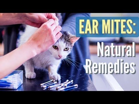 Get Rid Of Cat Mites With These 10 Effective Ways In 2020 Cat Ear Mites Dog Ear Mites Treatment Fleas On Kittens