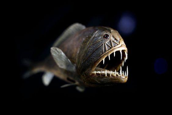 Bizarre Ocean Creatures Fangtooth
