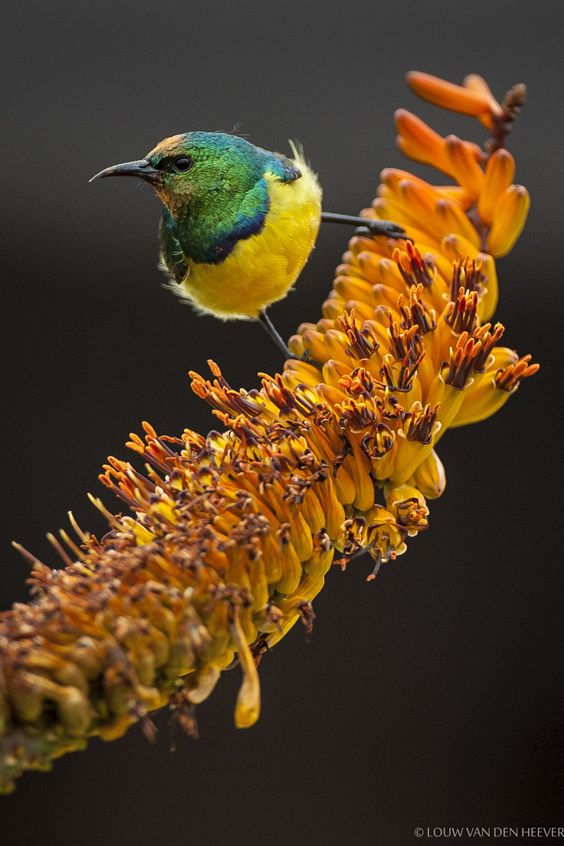 "wowtastic-nature: ""  Collared Sunbird on 500px by Louw van den Heever, South Africa ☀ Canon EOS-1D Mark II N-f/4-1/1000s-500mm-iso800, 1202✱1803px-rating:95.8 """
