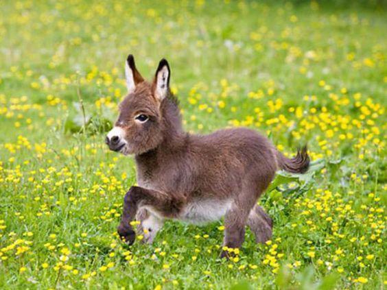 Dwarf Donkey. Because, Donkey!: